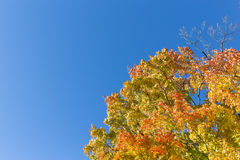 Maples Trees in the Fall Royalty Free Stock Photography