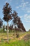 Maples trees rows Stock Photo