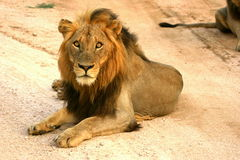 Mapogo Lion male. Mapogo was a collusion of 5 males in the Sabi Sand game reserve. They were big and scary Royalty Free Stock Photos