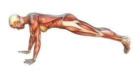 Mappe del muscolo Fotografia Stock Libera da Diritti