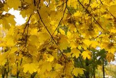 Mapple叶子在多雨早晨 背景 免版税图库摄影