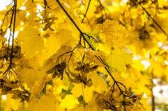 Mapple叶子在多雨早晨 背景 免版税库存照片