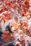 Mapple叶子在积雪的冬天- 图库摄影