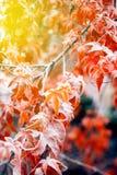 Mapple叶子在积雪的冬天- 免版税图库摄影