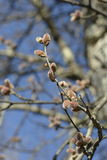 Mapple buds on a branch Royalty Free Stock Images