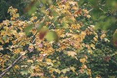 mapple drzewo opuszcza w jesieni przeciw ciemnemu tłu - rocznik f Fotografia Royalty Free