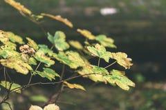 mapple drzewo opuszcza w jesieni przeciw ciemnemu tłu - rocznik f Obrazy Stock