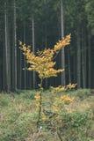 mapple drzewo opuszcza w jesieni przeciw ciemnemu tłu - rocznik f Obraz Royalty Free