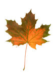 Mapple fall leaf Royalty Free Stock Photos