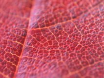 Mapple leaf Royalty Free Stock Image