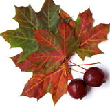 Mapple leaf with apples Royalty Free Stock Photo