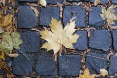 Mapple leaf on cobblestone in fall. Mapple leaf on wet cobblestone in fall on street town sidewalk Royalty Free Stock Photo