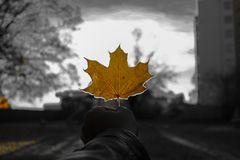 Mapple Leaf Orange stock photos