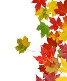 Mapple leaves Stock Photo