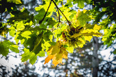 Mapple leaves in autumnal colors Stock Images