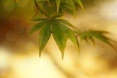 Mapple leaves in summer sunshine. Shallow DOF stock image
