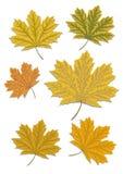 Mapple liście odizolowywający na białym tle jesień bank colours niemieckiego Rhine rzeki drzewa kolor żółty ilustracja wektor