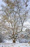 Mapple onder sneeuw Stock Foto's
