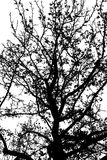 Mapple silhouette Stock Images