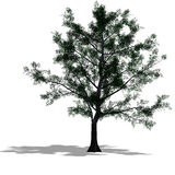 Mapple tree Royalty Free Stock Images