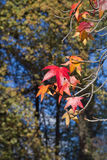 Mapple tree leaves Stock Images