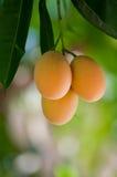 Maprang. Thai Friut , Bouea macrophylla  by Griffith,   Marian Plum , Plum Mango , Anacardiaceae Royalty Free Stock Photo