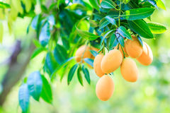 Maprang Mariańska śliwka lub śliwka mango Obrazy Royalty Free