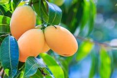 Maprang Marian Plum ou Plum Mango imagem de stock royalty free
