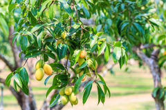 Maprang Marian Plum or Plum Mango Royalty Free Stock Photography
