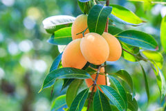 Maprang Marian Plum or Plum Mango Stock Image