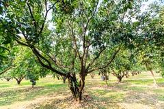 Maprang Marian Plum or Plum Mango Stock Photo