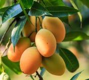 Maprang Marian Plum or Plum Mango Royalty Free Stock Photos