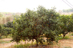 The Maprang or Mayongchid or Marian Plum and Plum Mango on tree Stock Images