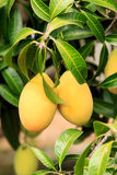 The Maprang or Mayongchid or Marian Plum and Plum Mango on tree Royalty Free Stock Images