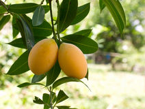 Maprang (thai fruit) Stock Photography