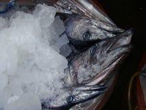 maquereau espagnol Étroit-barré fraîchement pêché par les pêcheurs philippins artisanaux photo libre de droits