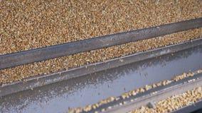 Maquinaria que cosecha el proceso de los granos del corazón de maíz almacen de video