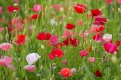 Maquis. A flowering poppy field. Landscape. Beautiful plants Stock Photos