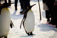 março do pinguim no jardim zoológico de Asahiyama, Hokkaido foto de stock royalty free
