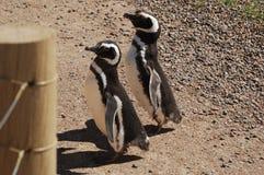 Março dos pinguins Imagens de Stock Royalty Free