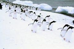 Março dos pinguins Fotos de Stock