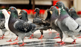 Março dos pombos fotografia de stock royalty free