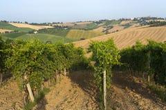 Marços (Italy) - vinhedos Foto de Stock Royalty Free