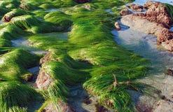 Maré baixa que mostra a grama da ressaca & o x28; Sp de Phyllospadix & x29; ao longo do litoral no Laguna Beach, Califórnia fotos de stock