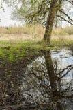 A maré na floresta, na água reflete a árvore inclinada velha, na distância pode ser vista uma floresta clara Imagem de Stock