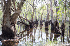 Marécage d'arbres de Melaleuca Photo libre de droits