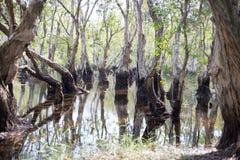 Marécage d'arbres de Melaleuca Photographie stock libre de droits