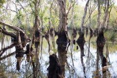 Marécage d'arbres de Melaleuca Photo stock