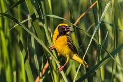 Marécage d'oiseau de tisserand images stock