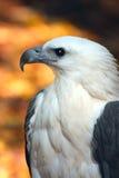 mar-águia imagem de stock